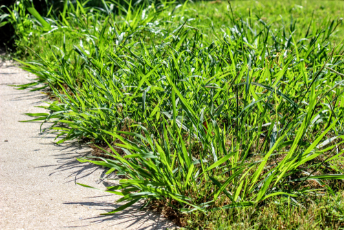 Does Frequent Mowing Thicken Grass?